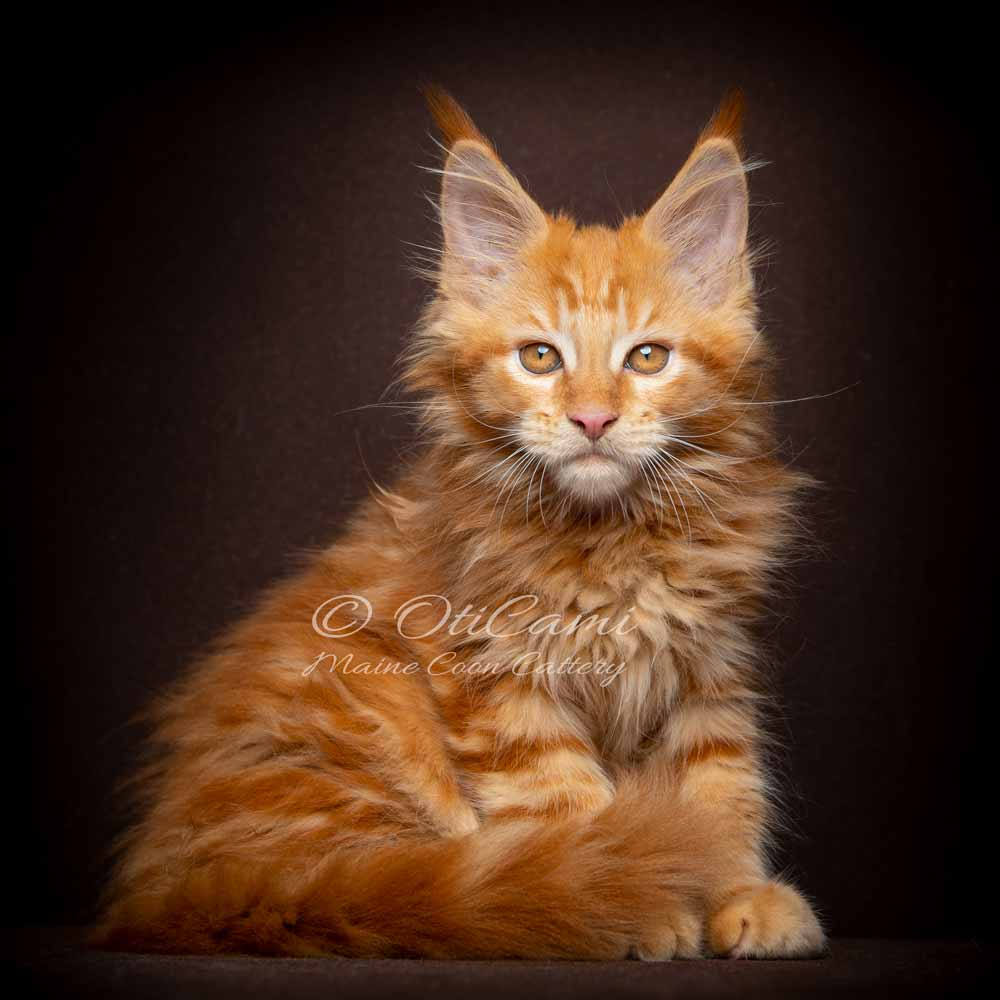 OTICAMI Maine Coon Cattery